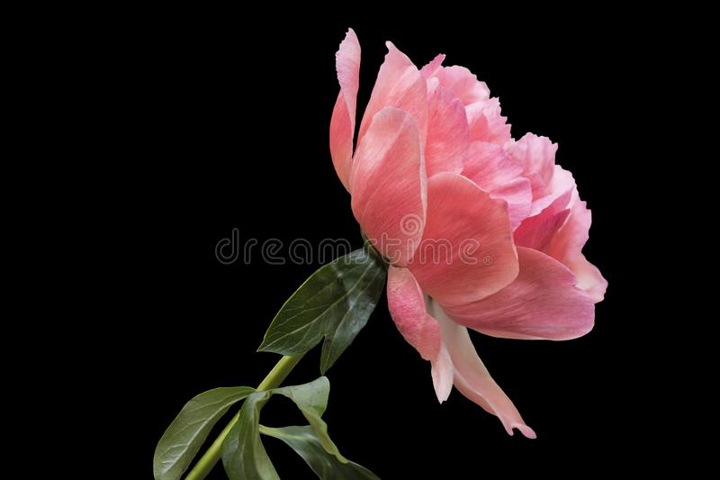 Λουλούδι Peony - πολλά βαλμένα σε στρώσεις πέταλα Δέσμη χλωμή - ρόδινο peony λουλούδι που απομονώνεται στο μαύρο υπόβαθρο στοκ εικόνα