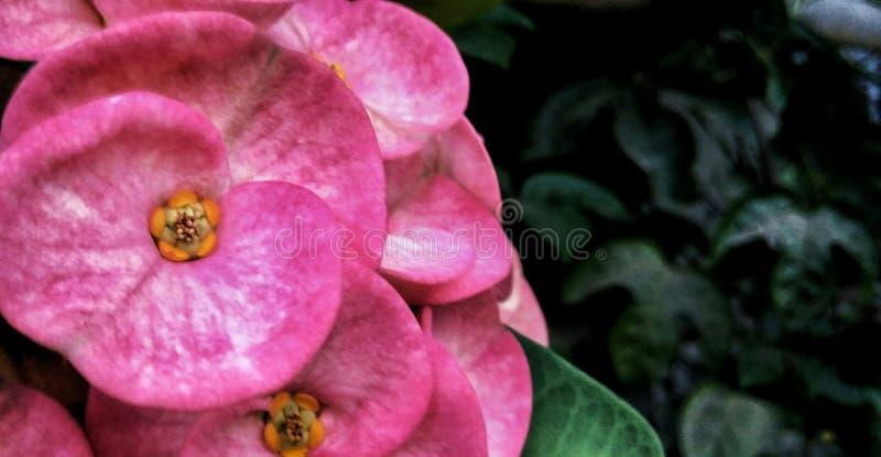 Λουλούδι Pinkl στοκ εικόνα