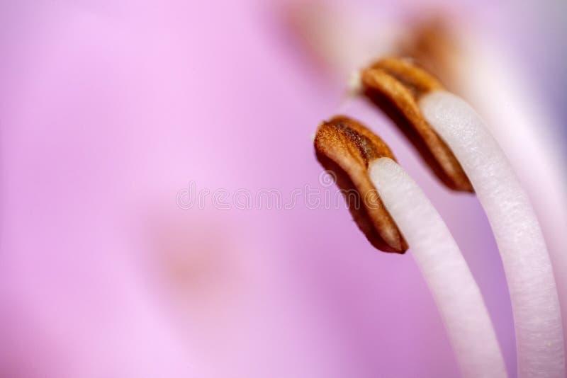 Λουλούδι pistil εξαιρετικά μακρο στοκ εικόνα