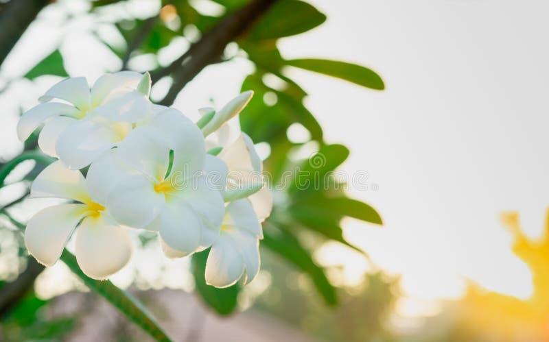 Λουλούδι Plumeria Frangipani alba με τα πράσινα φύλλα στο θολωμένο υπόβαθρο Άσπρα λουλούδια με κίτρινο στο κέντρο Υγεία και SPA στοκ φωτογραφία με δικαίωμα ελεύθερης χρήσης