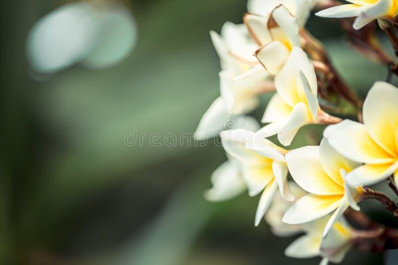 Λουλούδι Plumeria Frangipani alba Τροπικά άσπρα λουλούδια με την κίτρινη μέση στοκ φωτογραφία με δικαίωμα ελεύθερης χρήσης
