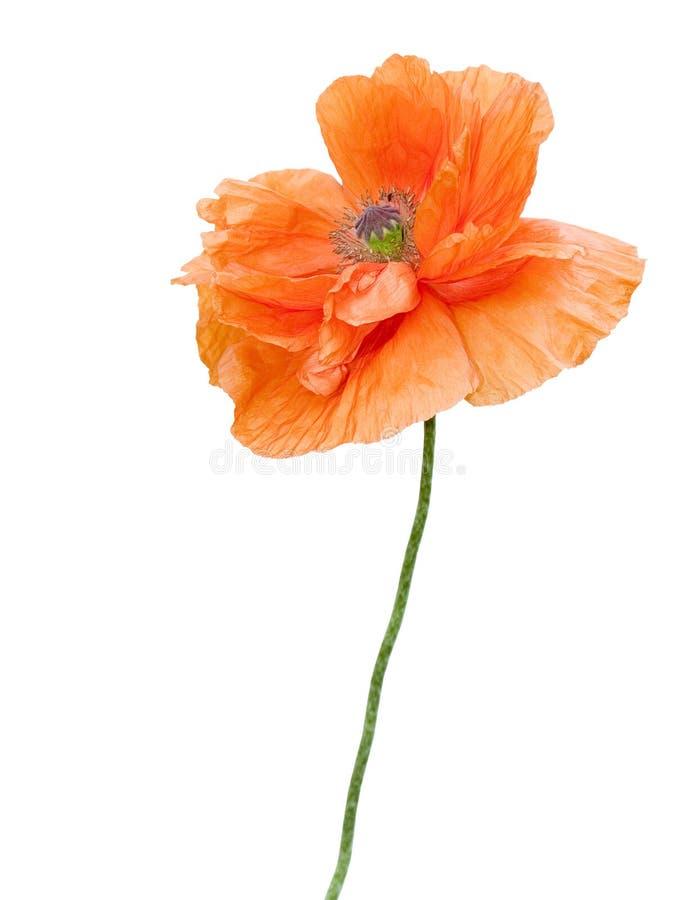 λουλούδι poppie στοκ φωτογραφία με δικαίωμα ελεύθερης χρήσης
