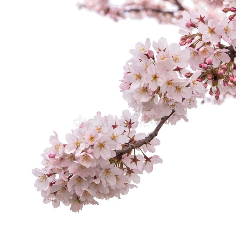 Λουλούδι Sakura ανθών κερασιών άνοιξη που απομονώνεται στοκ εικόνα