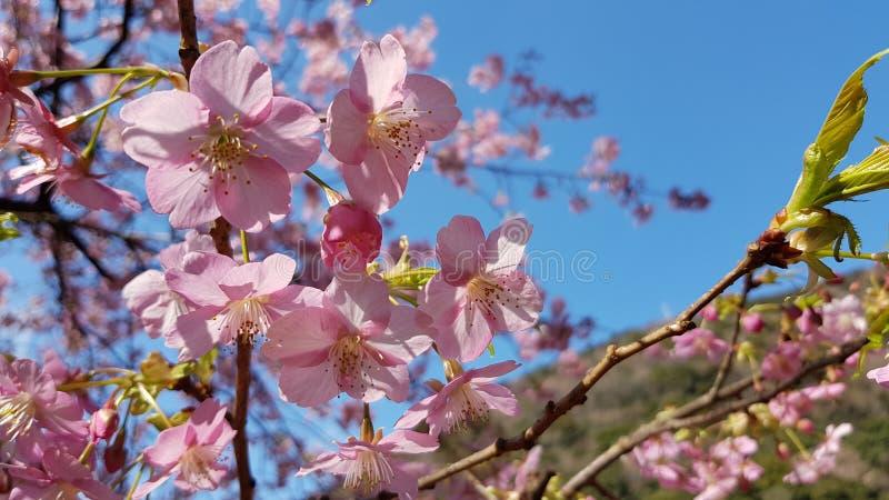 Λουλούδι Sakura στην Ιαπωνία στοκ εικόνες