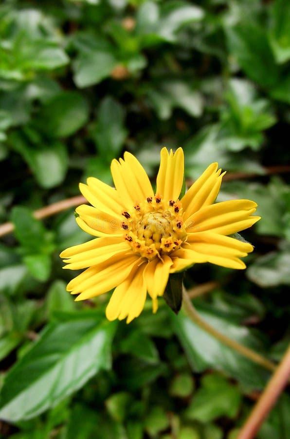 Λουλούδι trilobata Sphagneticola στοκ φωτογραφίες με δικαίωμα ελεύθερης χρήσης