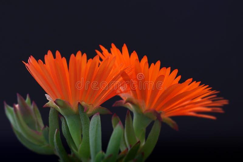 λουλούδι vygie στοκ εικόνα