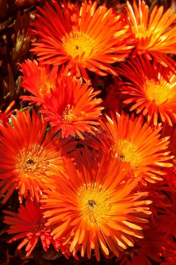 Λουλούδι Vygie στοκ φωτογραφίες