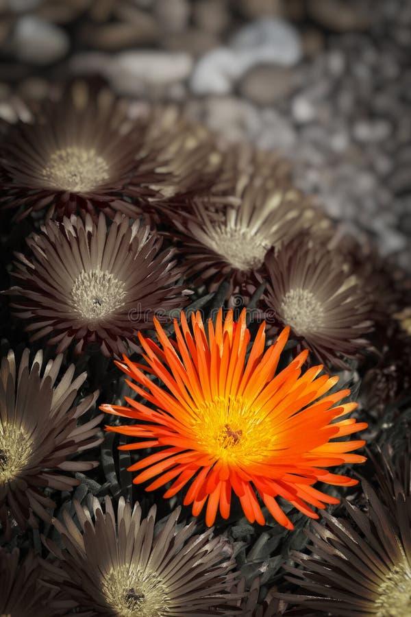 Λουλούδι Vygie στοκ φωτογραφία