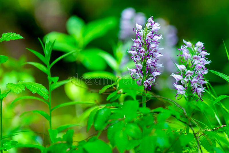 Λουλούδι Wisteria στο πράσινο υπόβαθρο φύσης στοκ εικόνα