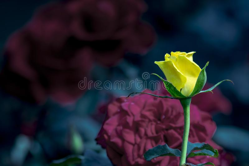 Λουλούδι Yellow Rose ανάμεσα σε άλλο κόκκινο υπόβαθρο τριαντάφυλλων στοκ εικόνα