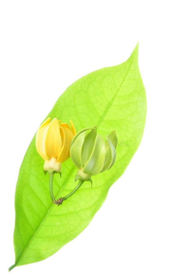 λουλούδι ylang στοκ φωτογραφία με δικαίωμα ελεύθερης χρήσης