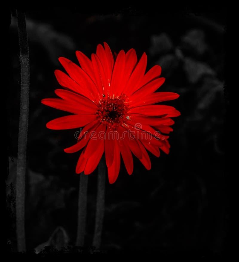 Λουλούδι zenia1 στοκ εικόνες