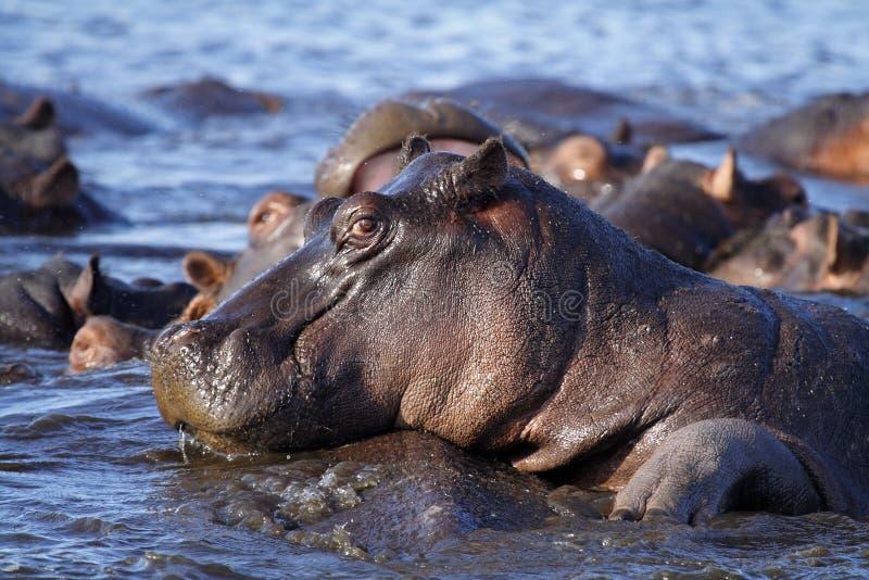 λουρίδα ποταμών λιμνών hippo caprivi τ& στοκ εικόνες