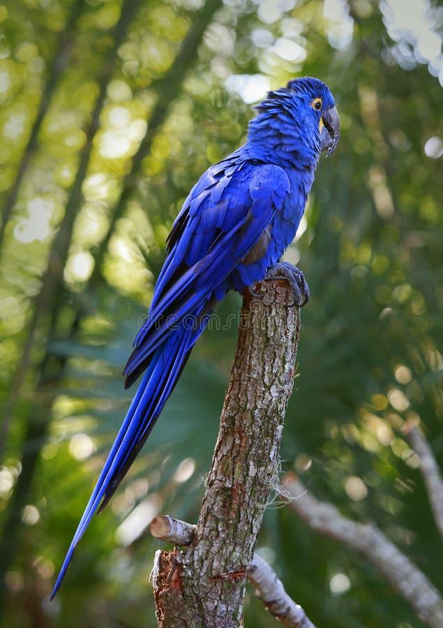 Λουλάκι macaw στην κορυφή ενός κορμού στοκ φωτογραφία με δικαίωμα ελεύθερης χρήσης