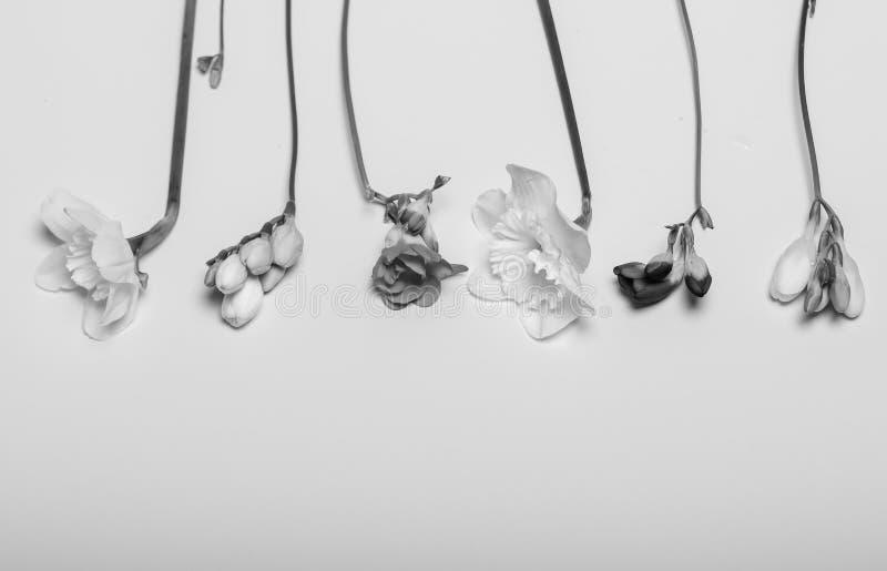 Λουλούδια άνοιξη - νάρκισσοι, freesia, στο άσπρο υπόβαθρο στοκ εικόνες