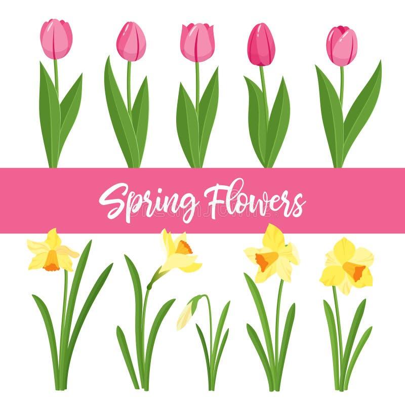Λουλούδια άνοιξη που αυξάνονται στον κήπο Τουλίπες και daffodils απομονωμένος στο άσπρο υπόβαθρο απεικόνιση αποθεμάτων