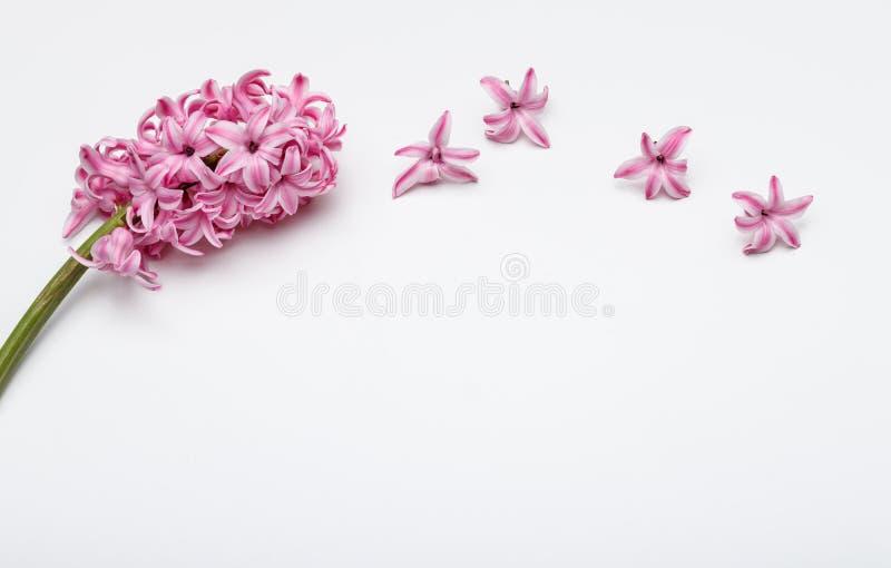 Λουλούδια άνοιξη - hiacinth ρόδινο χρώμα στοκ φωτογραφία