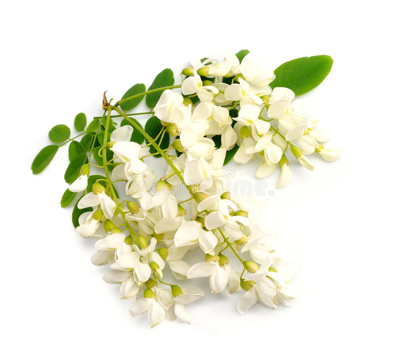 Λουλούδια ακακιών στοκ εικόνα