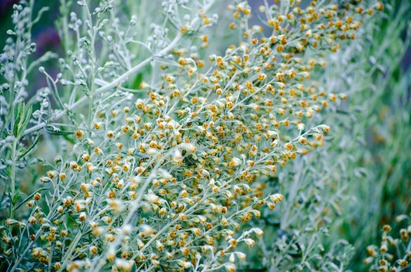 Λουλούδια αρτεμισιών στοκ εικόνα με δικαίωμα ελεύθερης χρήσης