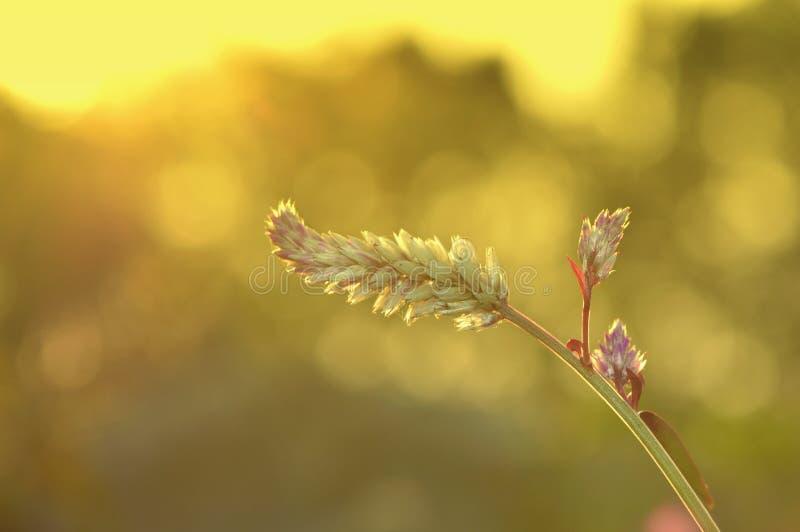 Λουλούδια ηλιοβασιλέματος στοκ εικόνες