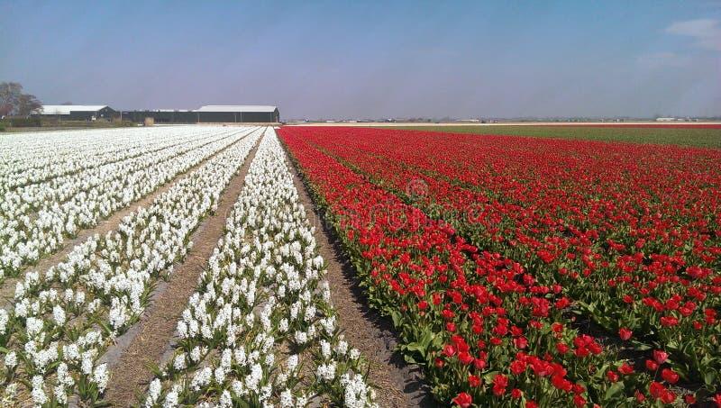 Λουλούδια και τουλίπες Muscari στοκ εικόνα με δικαίωμα ελεύθερης χρήσης