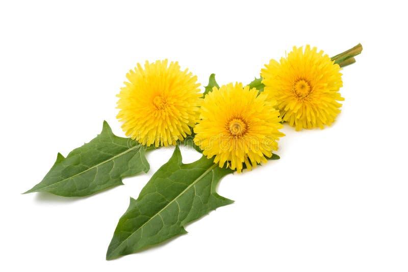 Λουλούδια και φύλλα πικραλίδων στοκ εικόνες