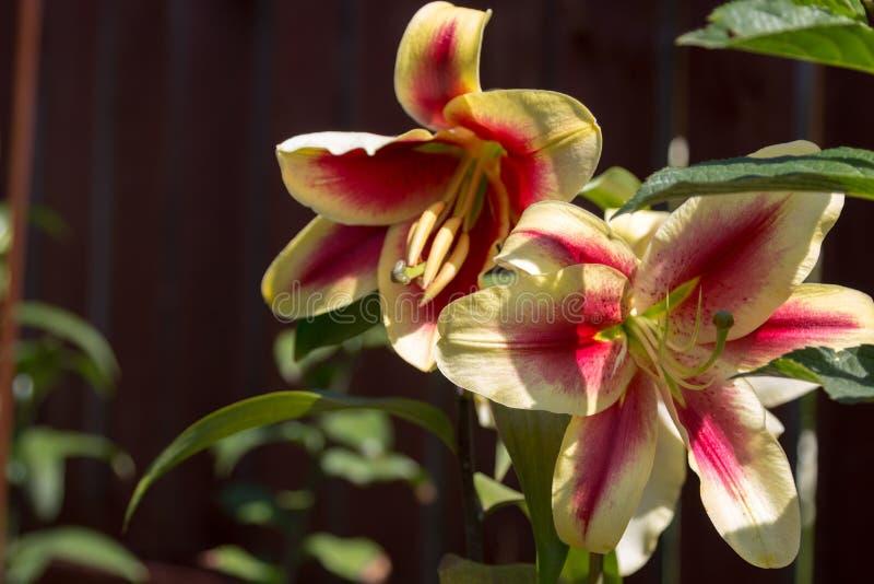 Λουλούδια κρίνων στην κινηματογράφηση σε πρώτο πλάνο φυλλώματος στοκ φωτογραφία