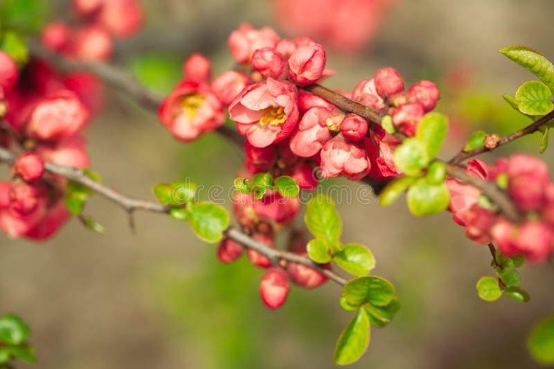 Λουλούδια κόκκινων ελατηρίων στοκ φωτογραφία με δικαίωμα ελεύθερης χρήσης