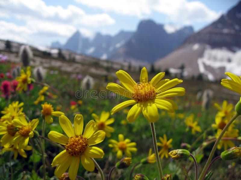 Λουλούδια, μαργαρίτα σε ένα αλπικό λιβάδι βουνών στοκ φωτογραφίες