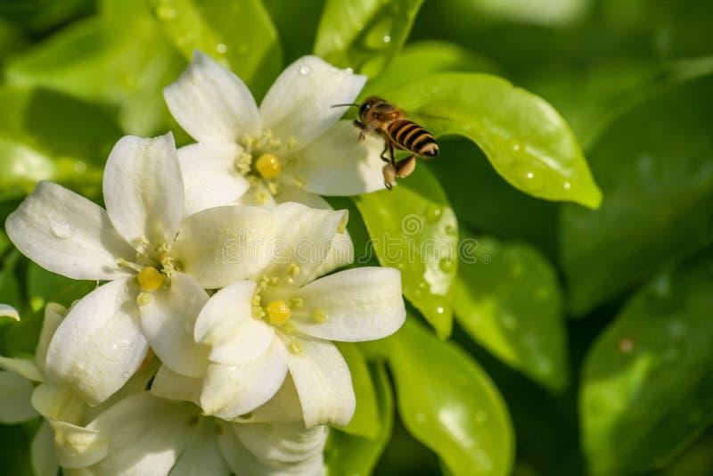 Λουλούδια μελισσών & πορτοκαλής-Jessamine στοκ φωτογραφία με δικαίωμα ελεύθερης χρήσης