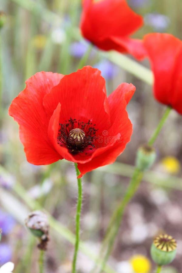 Λουλούδια παπαρουνών καλαμποκιού στοκ φωτογραφίες
