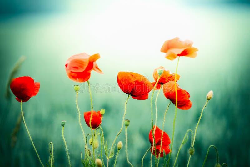 Λουλούδια παπαρουνών στο υπόβαθρο φύσης τομέων στοκ εικόνες