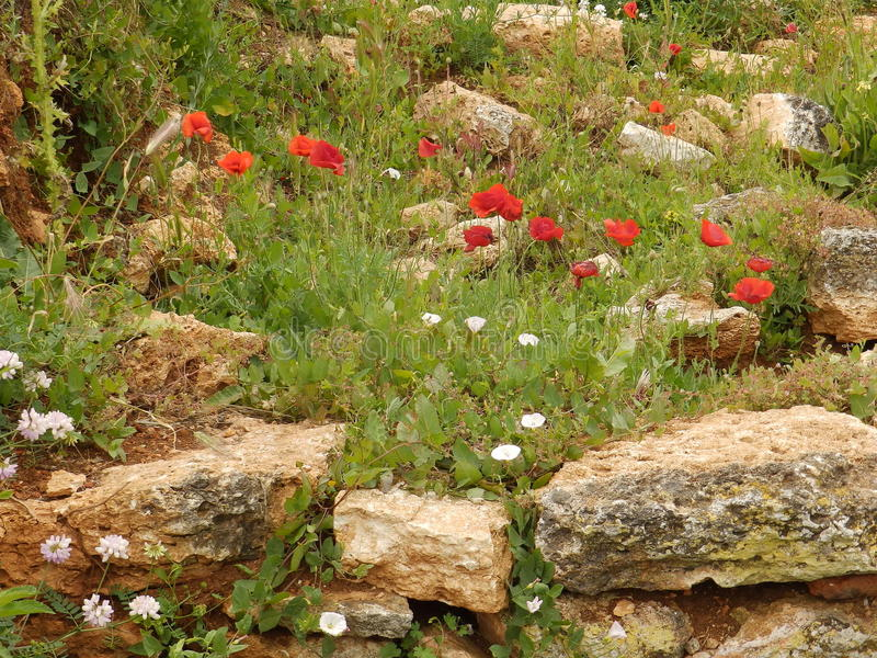Λουλούδια παπαρουνών στοκ εικόνες