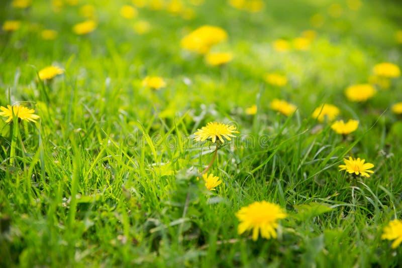 Λουλούδια πικραλίδων που ανθίζουν στο θερινό τομέα στοκ φωτογραφία