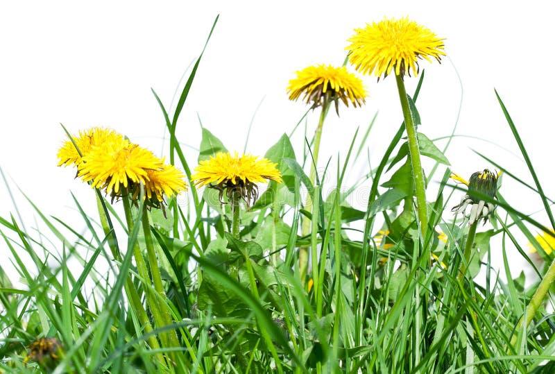 Λουλούδια πικραλίδων στη φρέσκια πράσινη χλόη στοκ φωτογραφία με δικαίωμα ελεύθερης χρήσης