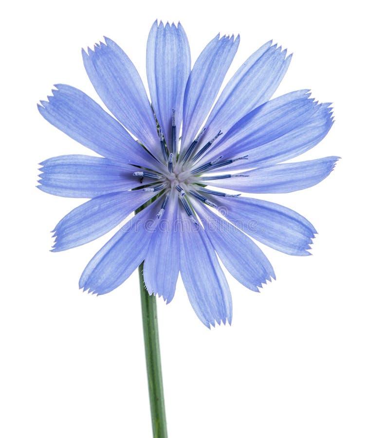 Λουλούδια ραδικιού που απομονώνονται στο άσπρο υπόβαθρο στοκ φωτογραφίες με δικαίωμα ελεύθερης χρήσης