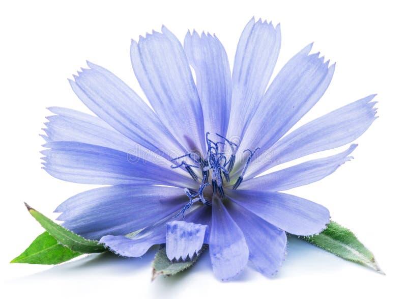 Λουλούδια ραδικιού που απομονώνονται στο άσπρο υπόβαθρο στοκ εικόνες