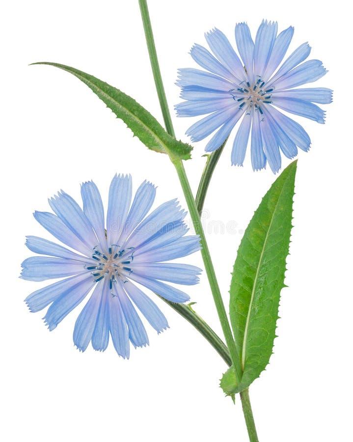 Λουλούδια ραδικιού στοκ φωτογραφίες με δικαίωμα ελεύθερης χρήσης