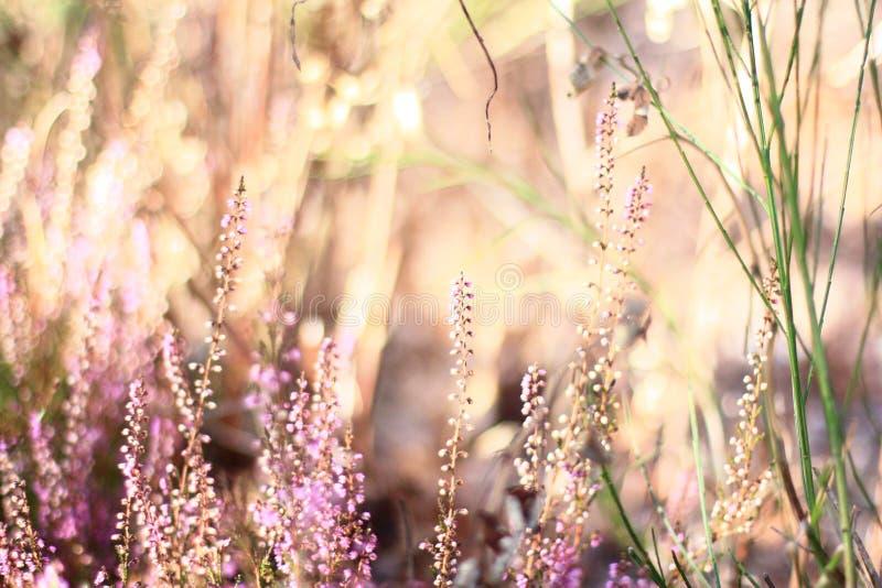 Λουλούδια στην ερείκη στοκ φωτογραφίες με δικαίωμα ελεύθερης χρήσης