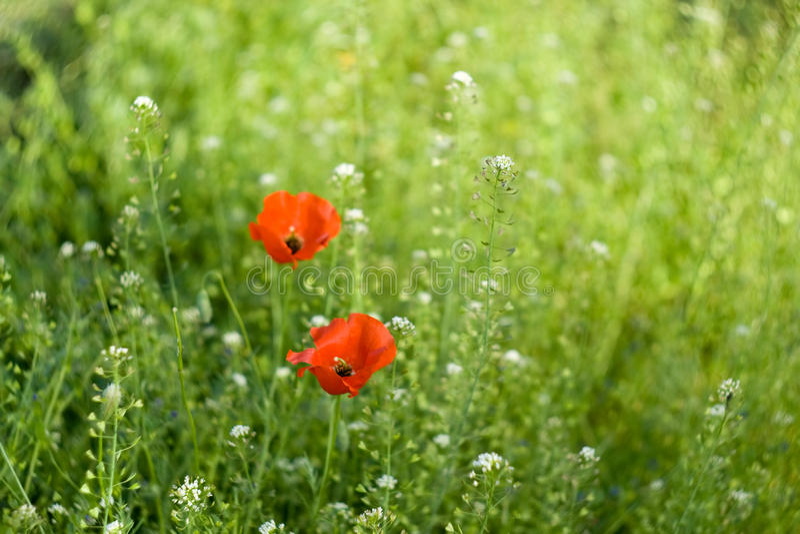 Λουλούδια της παπαρούνας στοκ εικόνες