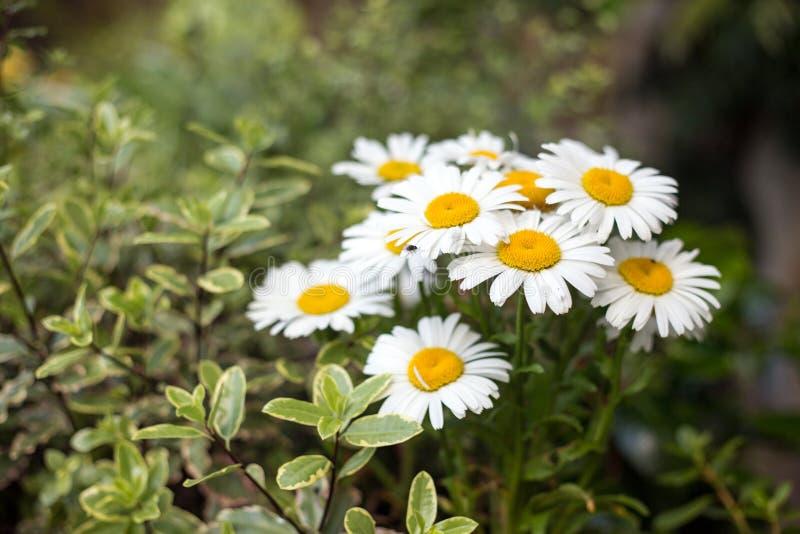 Λουλούδια της Daisy στον οικότροφο κήπων στοκ εικόνες