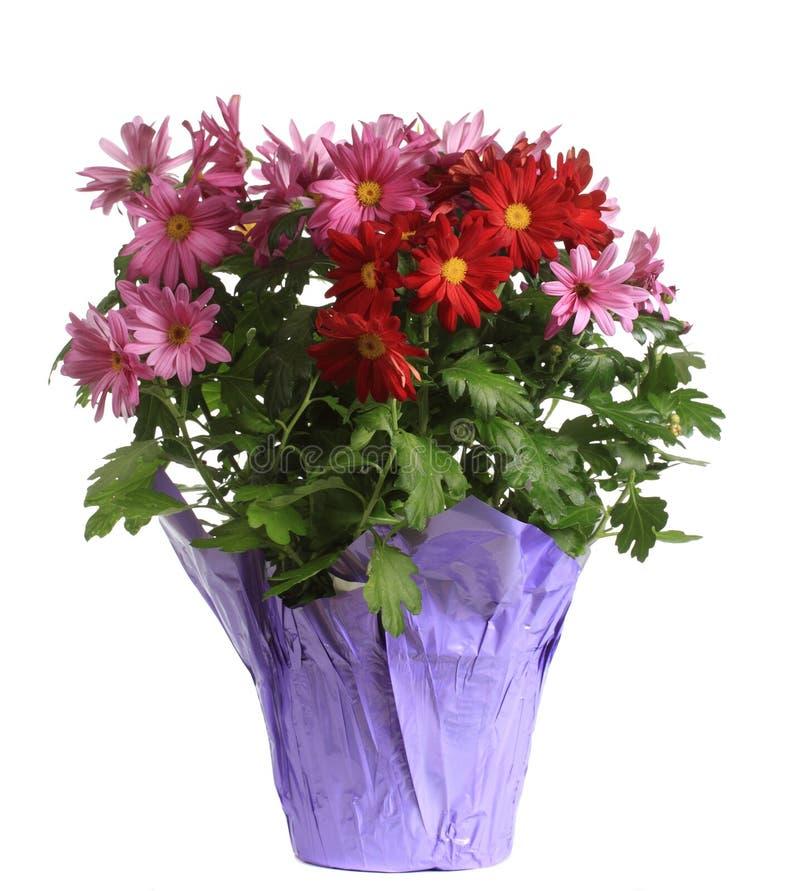 Λουλούδια της Daisy στοκ εικόνες με δικαίωμα ελεύθερης χρήσης