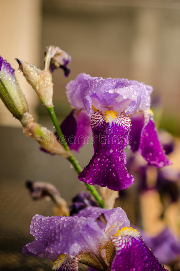 Λουλούδια της Iris με τα σταγονίδια νερού στοκ φωτογραφία με δικαίωμα ελεύθερης χρήσης