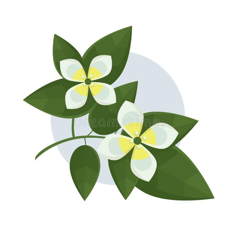 Λουλούδια της Jasmin διανυσματική απεικόνιση