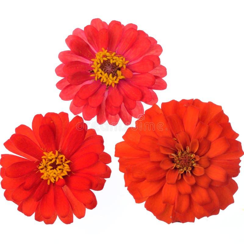 Λουλούδια της Zinnia που απομονώνονται στο άσπρο υπόβαθρο στοκ φωτογραφίες με δικαίωμα ελεύθερης χρήσης