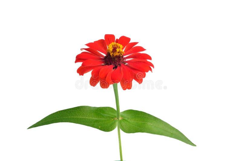 Λουλούδια της Zinnia που απομονώνονται στο άσπρο υπόβαθρο στοκ εικόνα με δικαίωμα ελεύθερης χρήσης