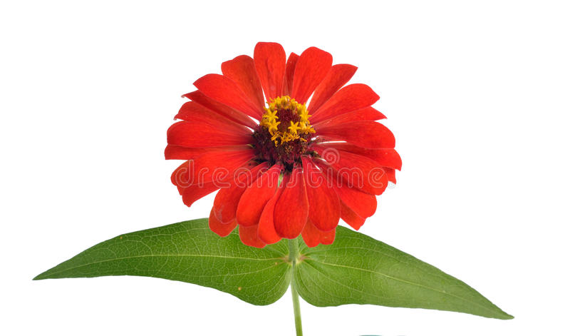 Λουλούδια της Zinnia που απομονώνονται στο άσπρο υπόβαθρο στοκ εικόνες