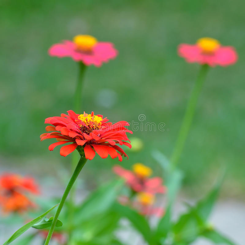 Λουλούδια της Zinnia στον κήπο στοκ εικόνα με δικαίωμα ελεύθερης χρήσης