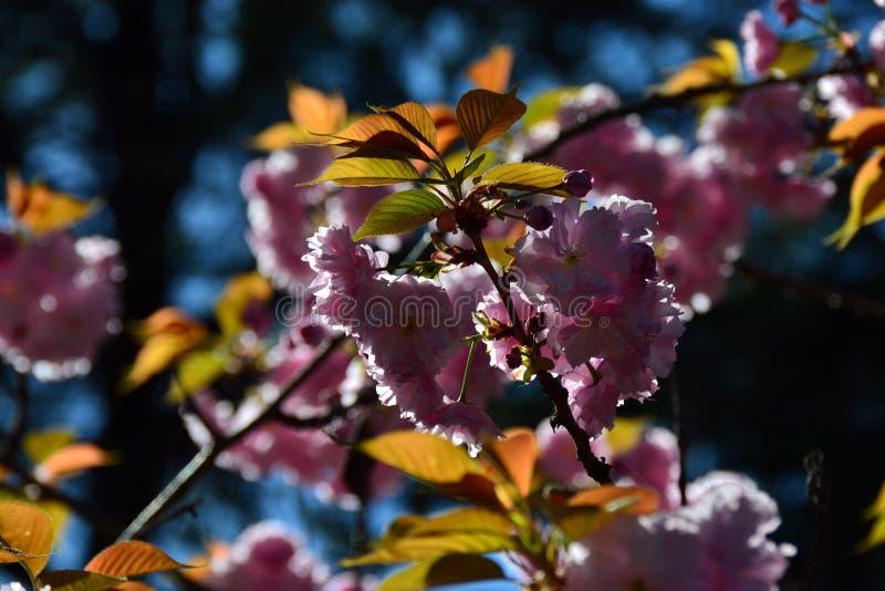 Λουλούδια του άγριου κερασιού στοκ εικόνα