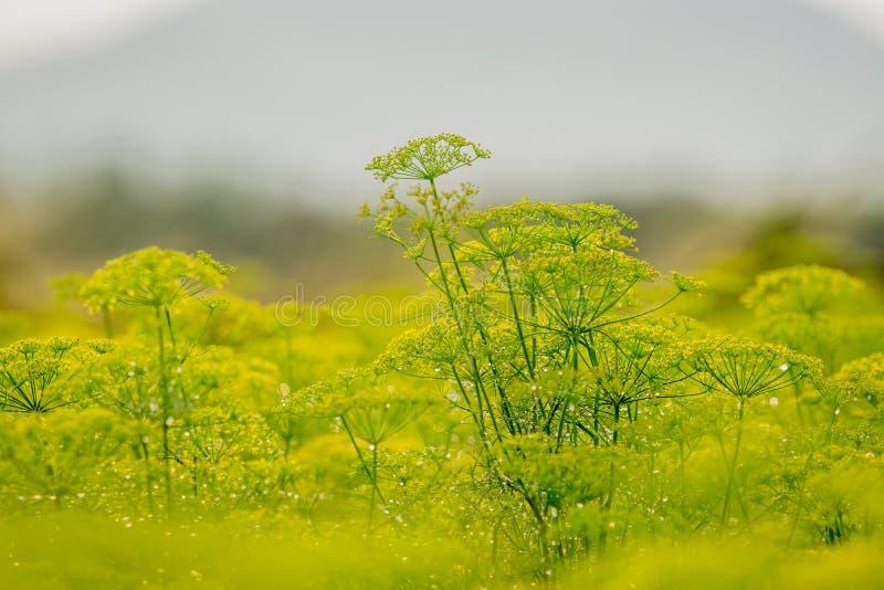 Λουλούδια του άνηθου στοκ εικόνες